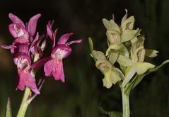 flower, plant, macro photography, laelia, wildflower, flora, plant stem,
