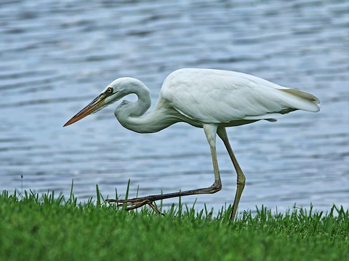 Great White Heron reduced 20140811