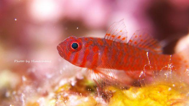 微動だにしなかったオキナワベニハゼ幼魚w
