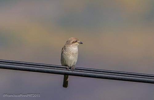 Picanço-de-dorso-ruivo_Fêmea (Lanius collurio) Red-backed Shrike - Covelães 2015-05-30