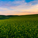 Canola Field Sunset by bloomfieldimages