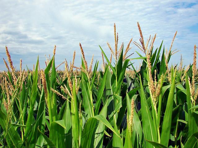 Tassled Out, Iowa Corn 2013