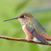 Rufous Hummingbird - immature male - Jackson County CO - July 2016 by SteveMlodinow