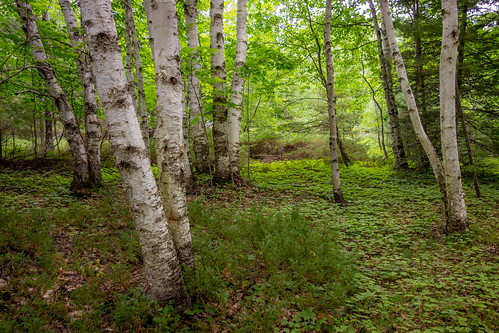 trees mi nature landscape green forest woods beaverisland birch michigan unitedstates us