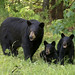 A bear family portrait by Seventh day photography.ca