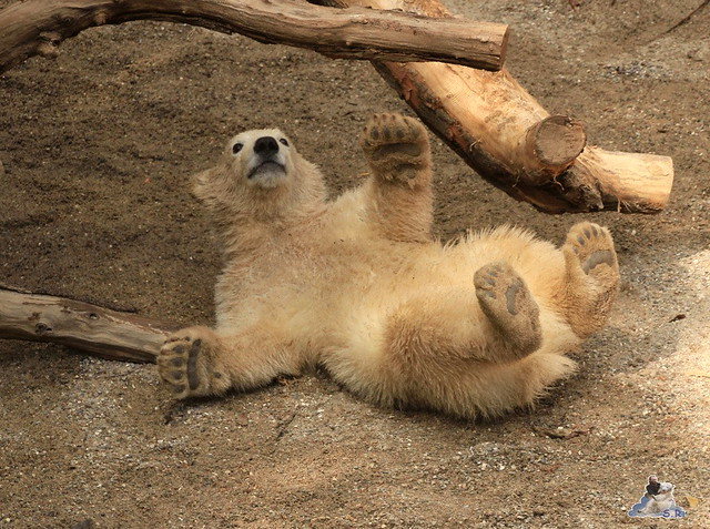 Eisbär Fiete im Zoo Rostock 04.05.2015 316