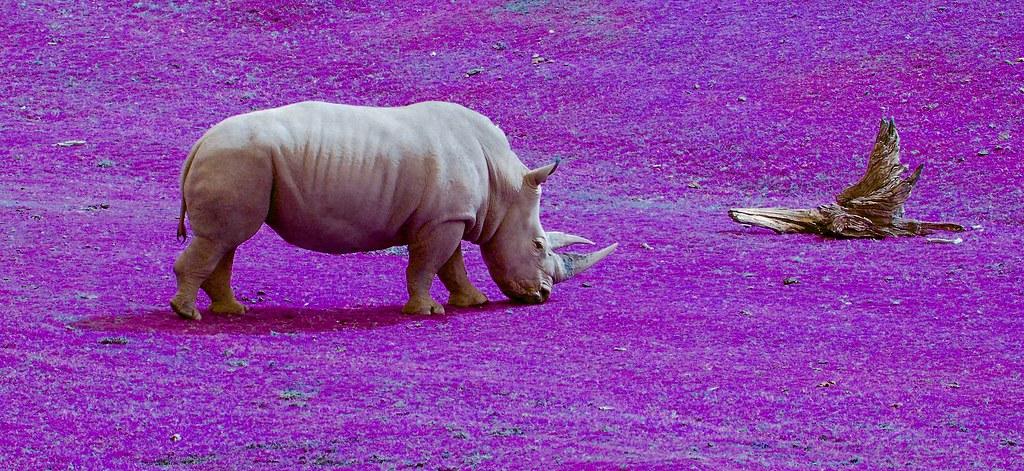 Southern White Rhino_v2