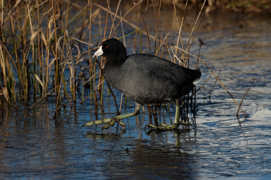 An American coot walks across the ice
