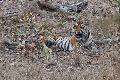Tiger, Pench NP