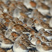 Western Sandpipers and Dunlins by Jerry Ting