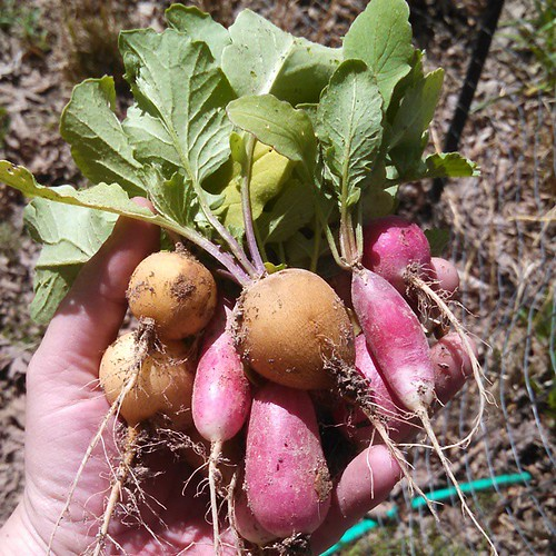 A handful of radishes in gold and red with vibrant green leafy tops and a little dirt still clinging to them.