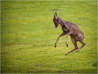 Frisky Roe Deer 2