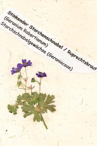 Herbarium gepresste Pflanzen Mannheim Pfalz Odenwald Stinkender Storchschnabel Ruprechtskraut Geranium Robertianum