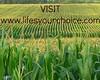corn_field - visit LYC