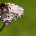 Small photo of Bee on Valerian