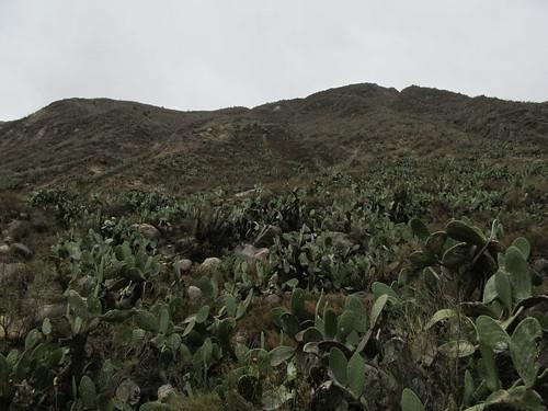 Trek du Cañon de Colca: champ de cactus