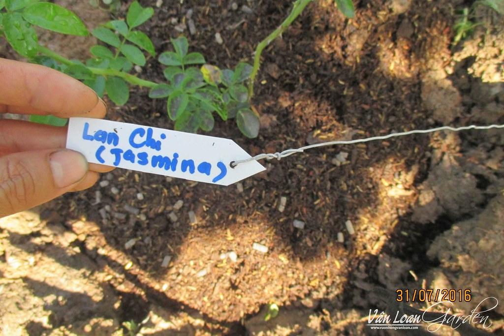 cach trong hong leo lan chi jasmina xuong dat (24)-vuonhongvanloan.com