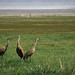 Small photo of Grus canadensis