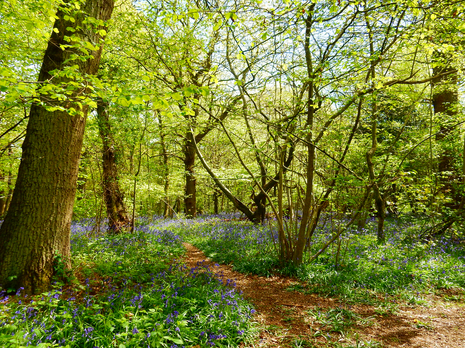 Bluebells in Kings Wood Whyteleafe to Woldingham