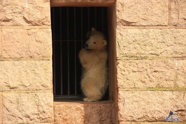 Eisbär Fiete im Zoo Rostock 04.05.2015 43