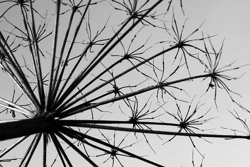 bw white plant black macro nature closeup canon countryside latvia simple detailed facture smiltene