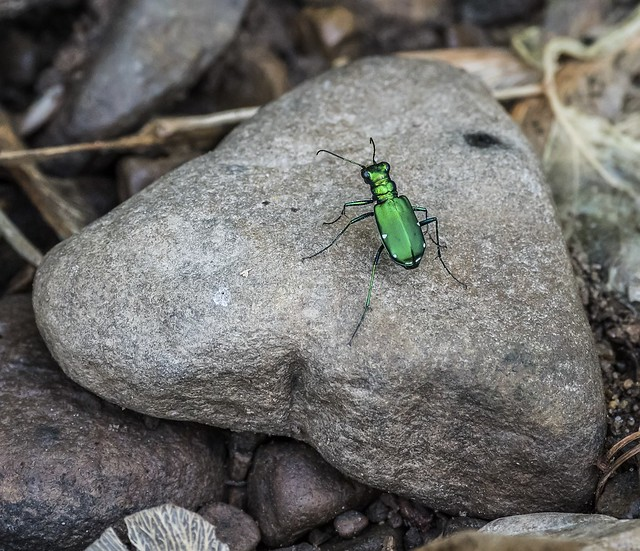 A Four Spotted -- Six-Spotted Tiger Beetle