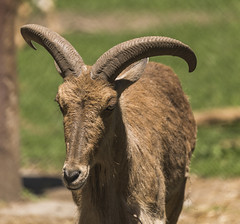 bighorn(0.0), animal(1.0), argali(1.0), mammal(1.0), horn(1.0), barbary sheep(1.0), goats(1.0), fauna(1.0), wildlife(1.0),