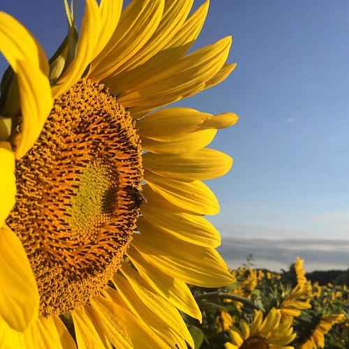 #popefarmconservancy #sunflowers2016 #sunrise #bee #scottalynch