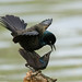 Common Grackle by George Whalen