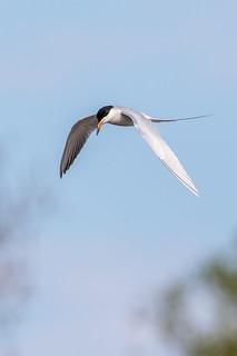 Forester Tern, Michigan