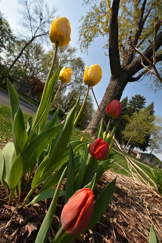 Pics of tulips with my new D7200 camera