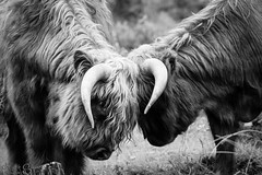 Highland Cattle cows