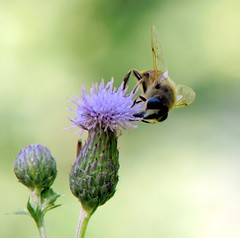nectar(0.0), animal(1.0), honey bee(1.0), pollen(1.0), flower(1.0), thistle(1.0), plant(1.0), invertebrate(1.0), insect(1.0), macro photography(1.0), wildflower(1.0), flora(1.0), fauna(1.0), close-up(1.0), plant stem(1.0), bee(1.0), bumblebee(1.0), petal(1.0),