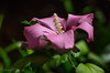 Pinkness Rose of Sharon