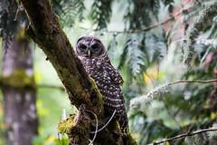 Camp Long Owl