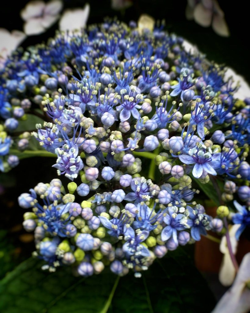 Blue flowers  #love #photooftheday #amazing #likes4follow #look #instalike #igers #picoftheday #instadaily #instafollow #followme #instagood #bestoftheday #instacool #instago #follow #colorful #flowers #flower #petal #petals #nature #beautiful #love #pret