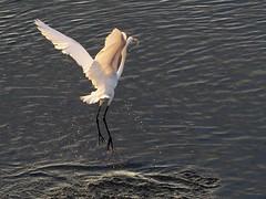 Great egret (ダイサギ)