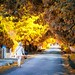 autumn avenue in greyton