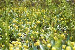 Trout Lilies 1