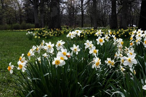 Daffodil Glade