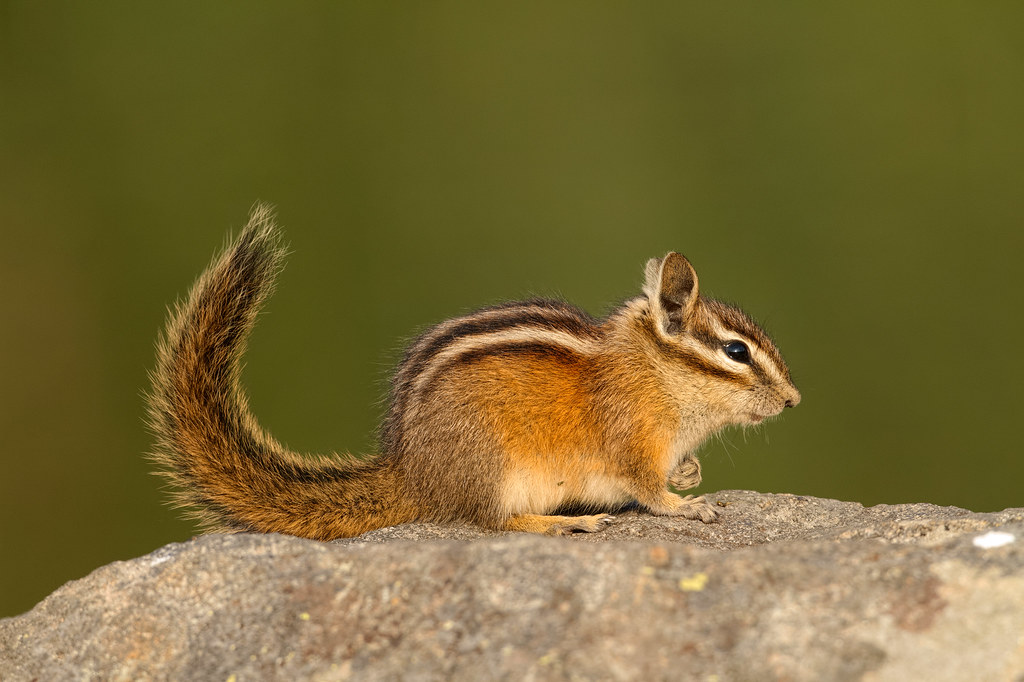 A Townsend's chipmunk waves its tail in alarm