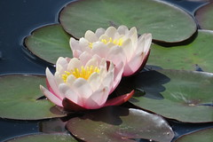 Water Lily Duo