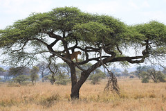 Tree Lion, Serengeti
