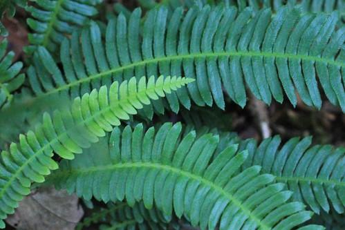 Hard Fern - Ashdown Forest