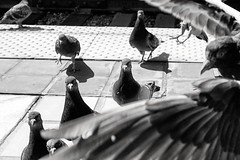 #DailyPigeon 072016 look at the one peeping through the feathers like
