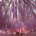 Wisteria @ Ashikaga Flowerpark 2015 by spiraldelight