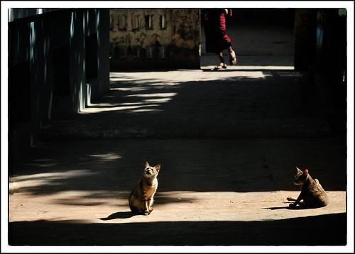 portrait cats burma monk myanmar mandalay 動物 貓 人像 街拍 背影 光影 和尚 緬甸 viewfromback nikkor70200mm 曼德勒 nikond300s maymargy maylee廖藹淳 streetviewphotographymyanmar mandalaybuddhistmonastery linesformandlightandshadows 曼德勒佛教修道院 fdsc3572