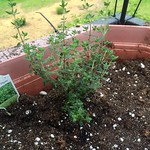 common thyme planting in Porch Garden 2015 by annaoj
