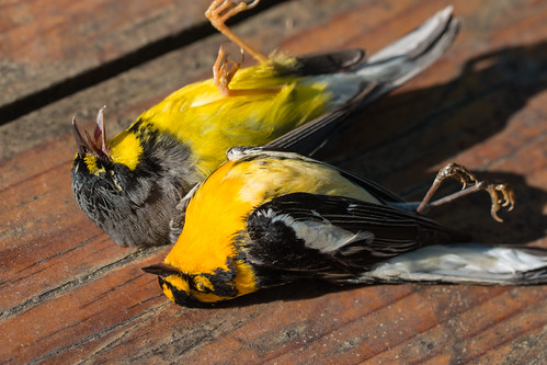 Dead Canada and Blackburnian Warblers