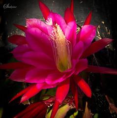 moonlight cactus(0.0), plant(0.0), epiphyllum anguliger(0.0), cactus family(0.0), caryophyllales(0.0), flower(1.0), red(1.0), epiphyllum(1.0), macro photography(1.0), flora(1.0), epiphyllum crenatum(1.0), pink(1.0), petal(1.0),